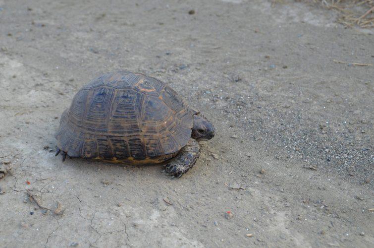 Weidelandschaften – der natürliche Lebensraum der Europäischen Landschildkröten - Teil 03