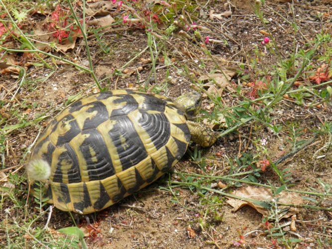 Weidelandschaften – der natürliche Lebensraum der Europäischen Landschildkröten - Teil 02